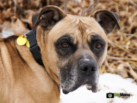 Kapo, Mastiff, 12 years, AHS