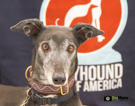 Greyhound Pets of America, March 21, 2015