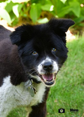 Bella, a senior Border Collie mix, owned and loved