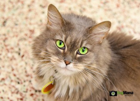 Anais, a domestic long-haired cat at the Animal Humane Society in Golden Valley, Minnesota