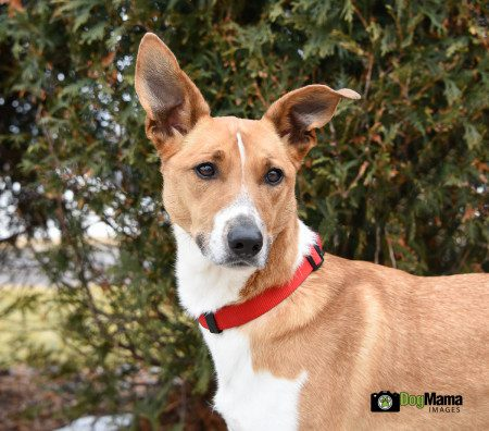 Link, a young adult smooth collie cross