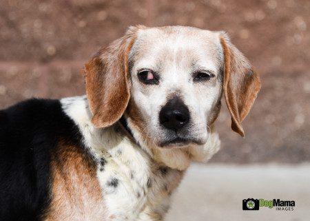 Boggs, a senior beagle, suspicious of the camera