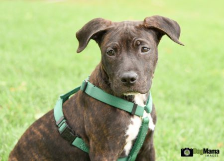 Eva, a female pit bull puppy available for adoption through Twin Cities Pet Rescue