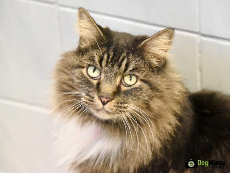 Meowie was an adult  Maine Coon cat available for adoption through the Animal Humane Society in Coon Rapids.