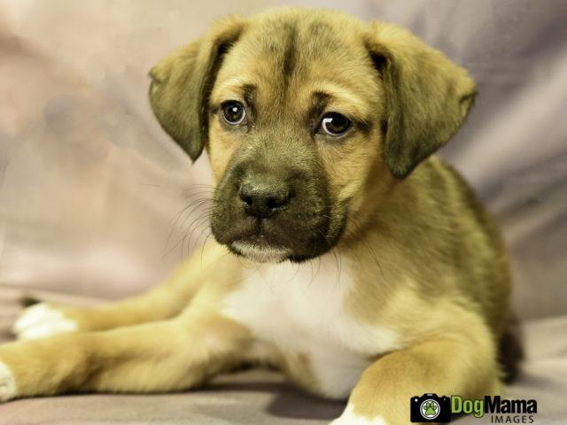 Rottie Cross Puppy