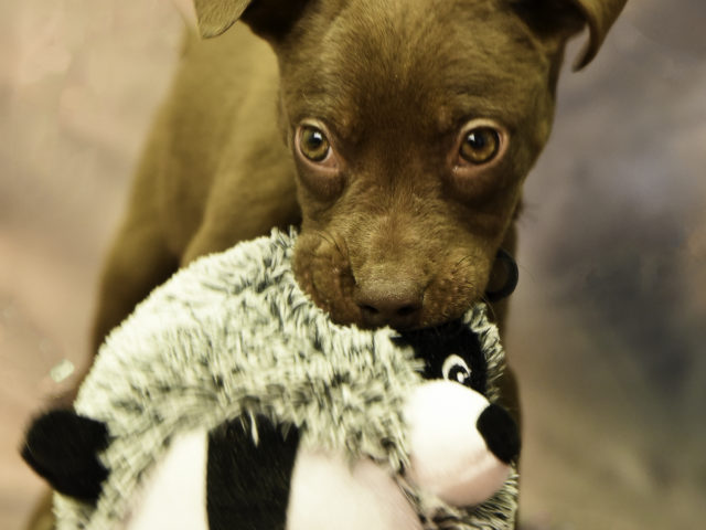 Pibble Cross Puppy