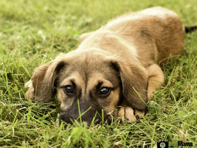 Shepherd/Hound Puppy